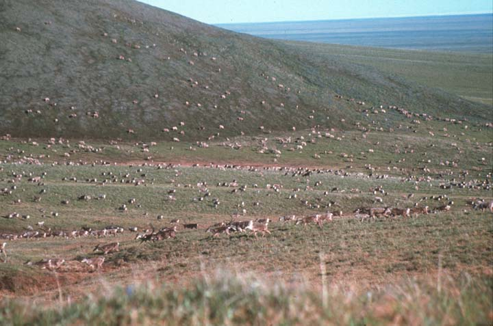 Looking out over an open valley of low green tundra, dotted with thousands of caribou.