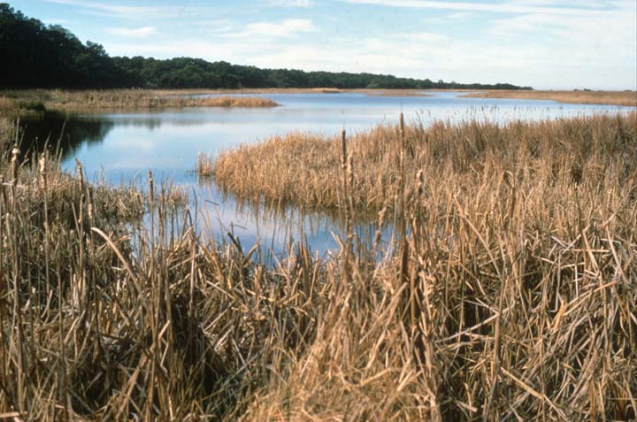 A large marsh, bordered by green forest, golden grass reaching far out into the blue water.