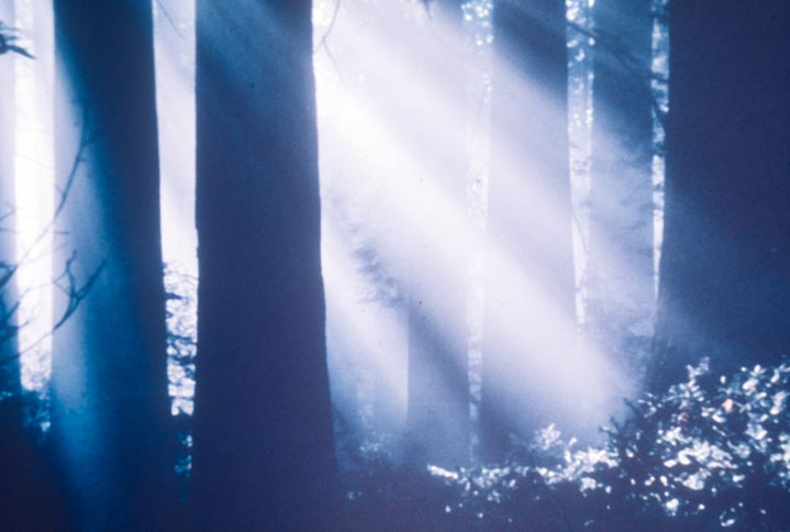An eerie scene of rays of sunlight filtering down through the blue shadows of a dense forest.