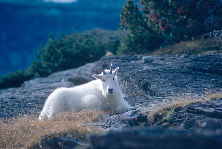 Mountain goat laying in a rocky clearing.