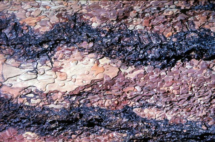 A close-up of textured brown pine bark scales.
