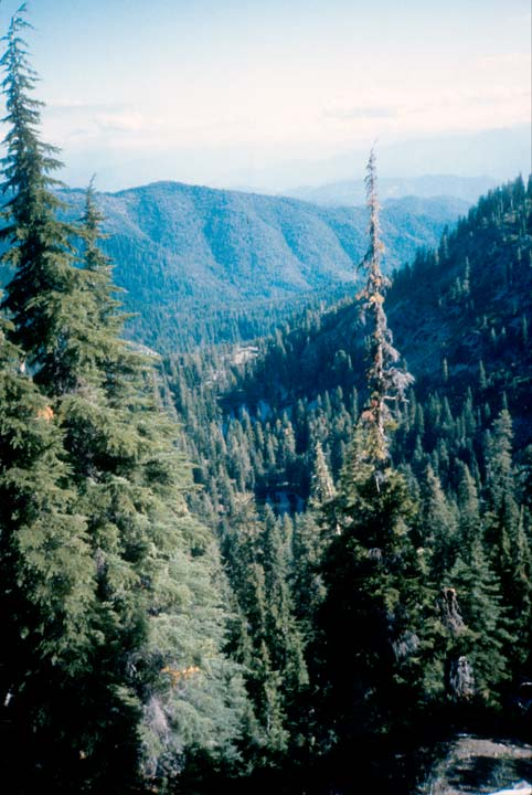 A large valley, filled with tall forest evergreen trees.