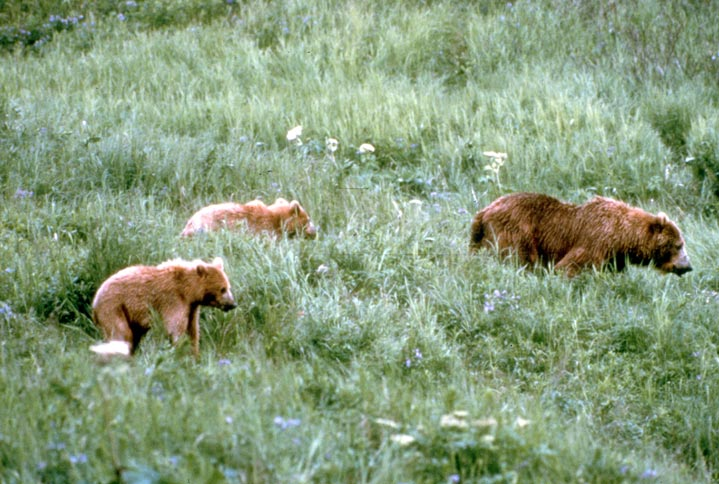 A mother brown bear, and two smaller cubs, walking through tall green grass.
