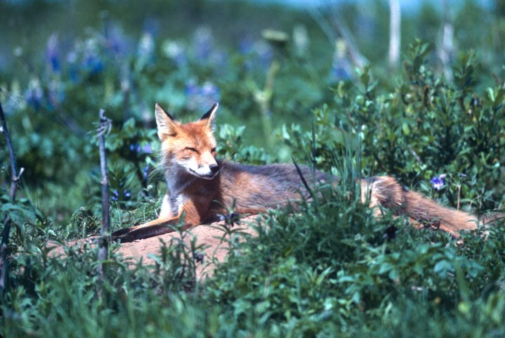 A lone red fox, sunning outside its den on a bed of green grass, surrounded by blue wildflowers.