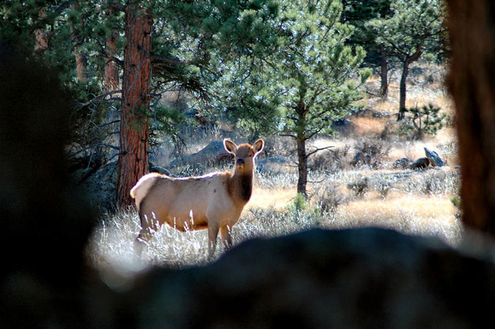View of a cow elk from between tree branches