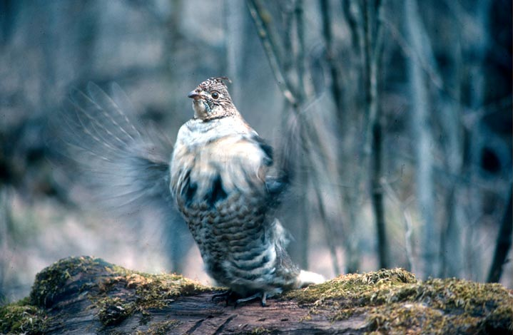 A large male grouse in mottled white and black breeding plumage, drumming on a forest log.