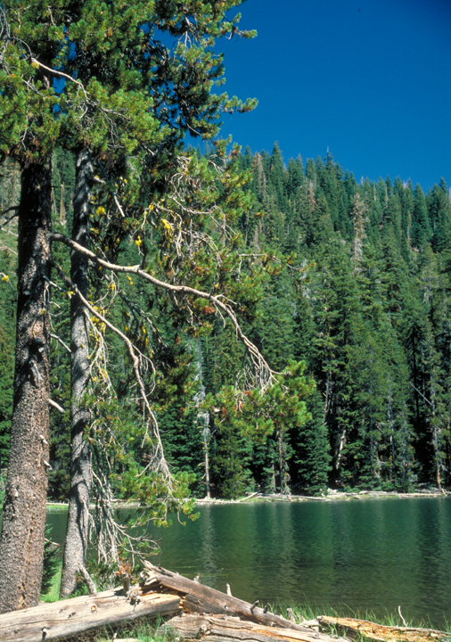 A green lake can be seen, far shores edged by tall green pines.  On the near shore is a pair of standing trees and a couple of fallen ones on the ground.