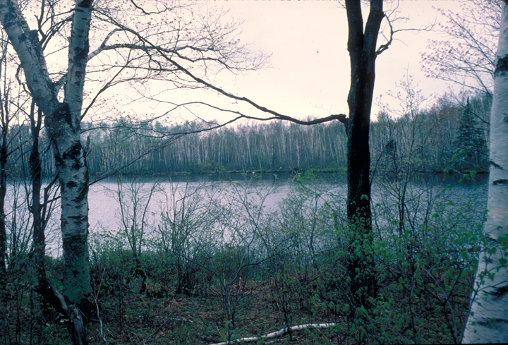 Pale birch trees bask in the pink light of sunset.  The waters of the lake beyond are still.