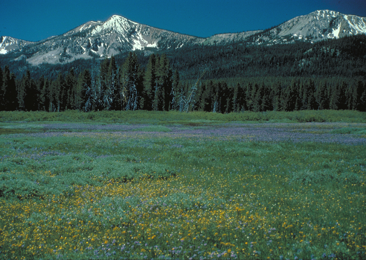 Wildflowers lend an explosion of purple and yellow color to the green meadow.  Beyond the pines, a series of snowy mountains are still covered in snow.
