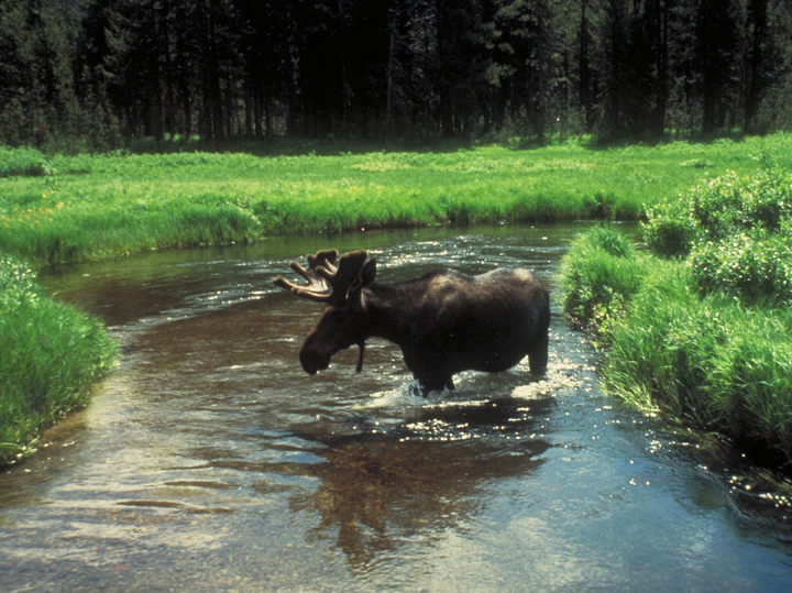 A male moose in velvet stands belly deep in a river.
