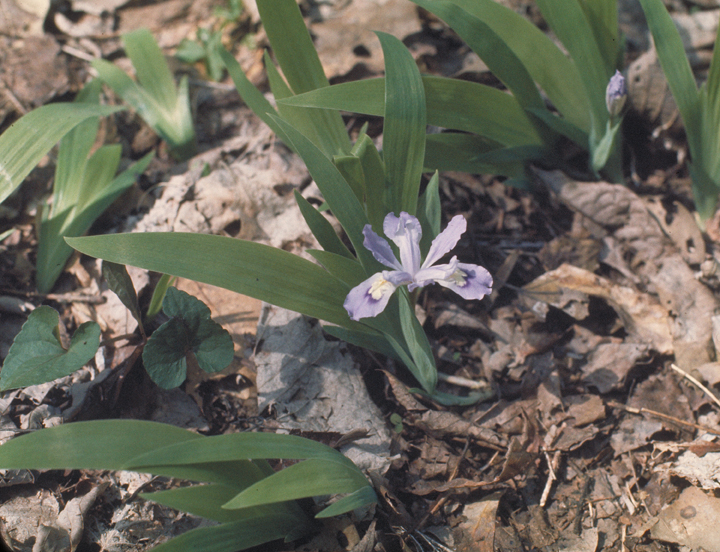A close up reveals a small, delicate purple bloom hiding in the shadow of tall leaves.