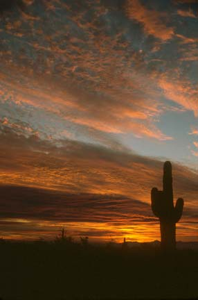 A tall cactus, silhouetted alone against an evening sky laced with golden clouds.