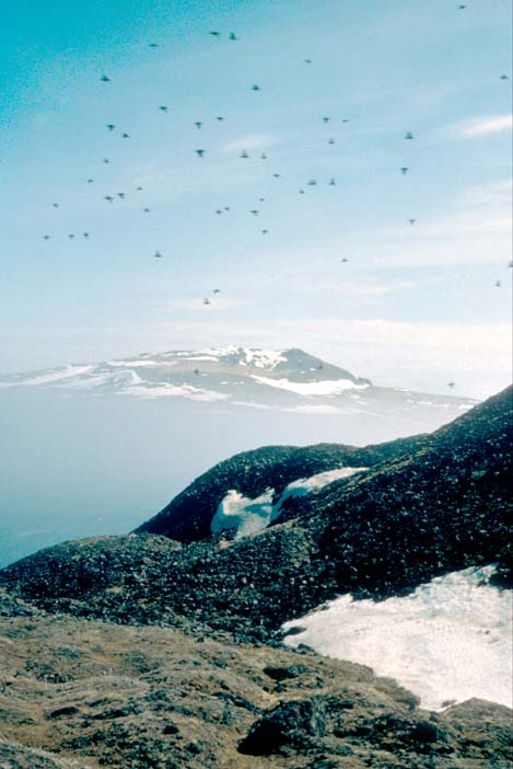 A large flock of small birds flying over a snowfield bordered with black rock. Higher hills laced with snow can be seen in the distance beyond a veil of fog.
