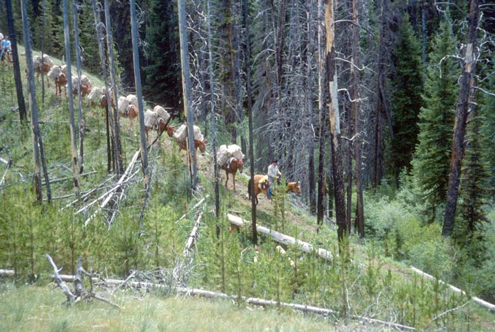 A long string of pack horses traveling down a narrow trail through an old burned forest, alive with new green growth.