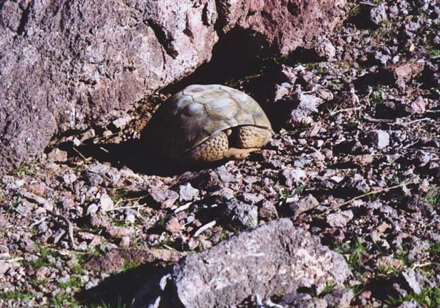 A large tortoise retracted into its shell, surrounded by gray desert rock.
