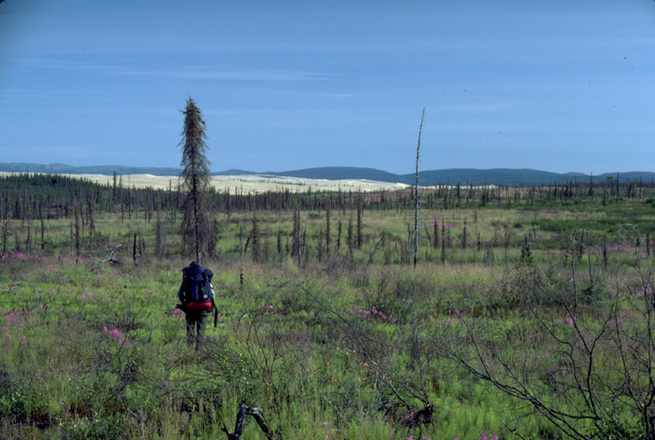 A backpacker walks across a flowering meadow with scraggly trees all around.
