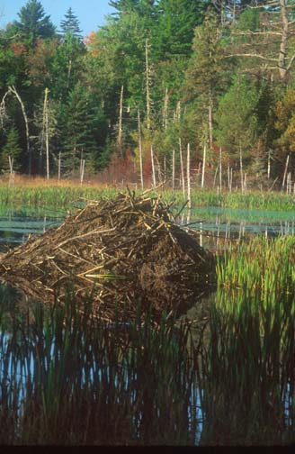A large beaver lodge in the center of a small pond, the colorful forest around reflecting off the surface of the water.