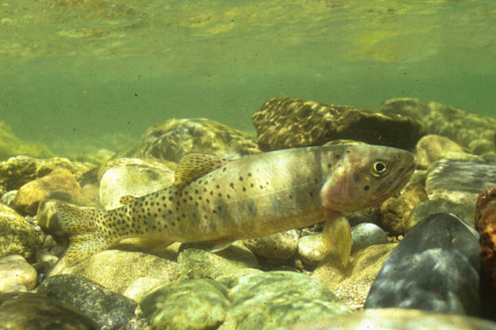 An underwater image of a small trout, sitting on the rocky bottom of a green stream.