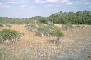 An open swamp, dotted with small trees, standing out of the water on a tall root structure, surrounded by golden grass and gray water.
