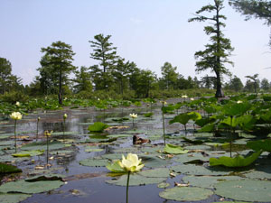 An intimate view of a swamp in the Mingo Wilderness. The swamp houses flowering lily pads and the edges of the water are populated with coniferous trees.