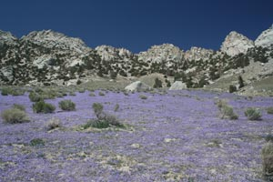 Brilliant lavender flowers carpet the desert floor in front of granite cliffs.