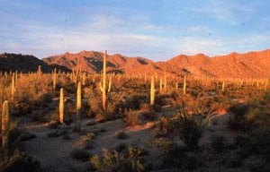 An open dersert valley surrounded by low mountains, dotted with tall cactus and low brush, glowing in warm evening light.