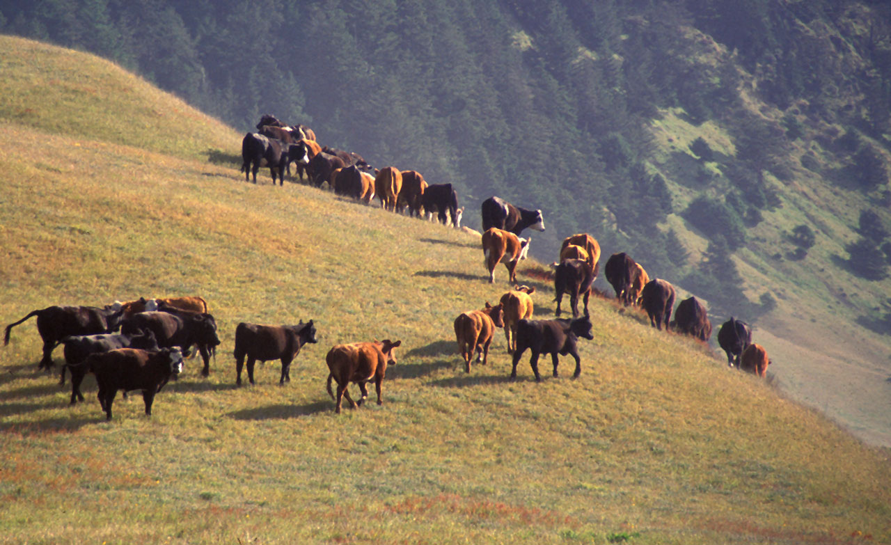 Commercial grazing of cattle