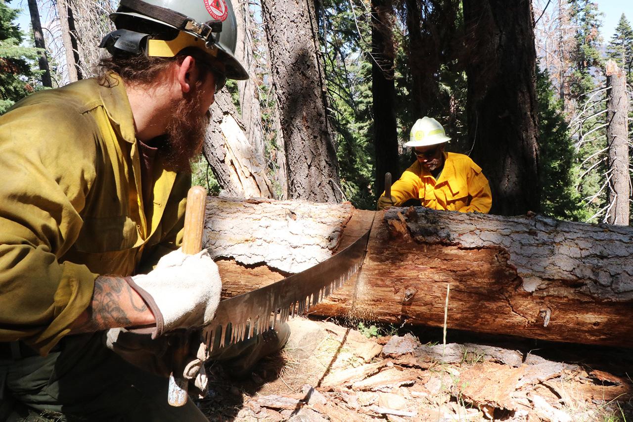 Men using a crosscut saw