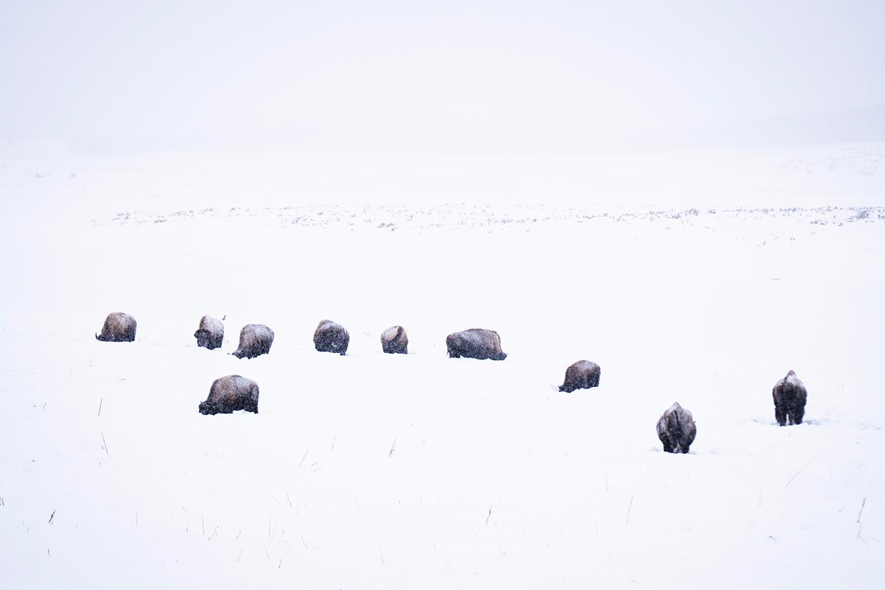 Bison in deep snow